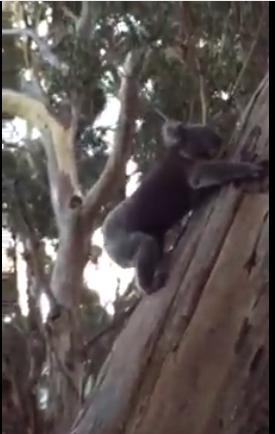Koalas – April 2015