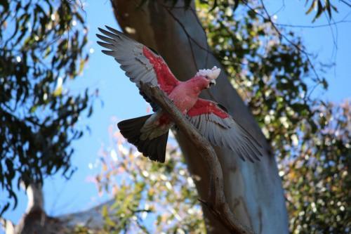 Rose Breasted Cockatoo (Galah)