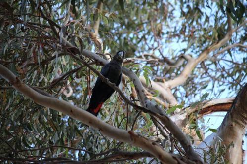 Black Glossy Cockatoo